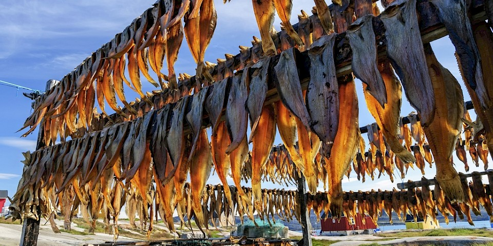 Cod drying. Photo: iStock